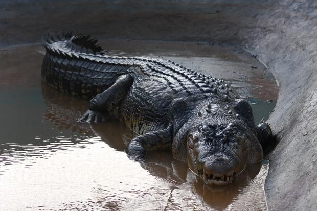 'Lolong' foi capturado no dia 3 de setembro. (Foto: Jeoffrey Maitem/Getty Images)