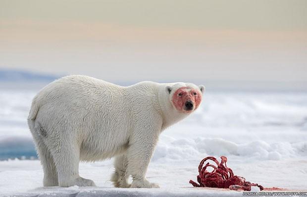 O registro de um urso polar em Svalbard, no Ártico, é uma das fotos que estão na exposição (Foto: Joshua Holko/www.tpoty.com/BBC)