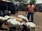 Criadores recorrem à silagem para alimentar o gado no sertão de PE