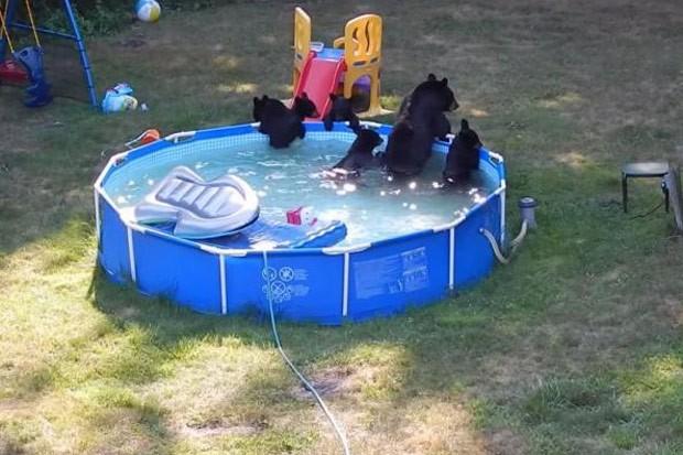 Casal flagra mamãe ursa e 5 filhotes se divertindo em piscina nos EUA (Foto: Reprodução/YouTube/Tim Basso)