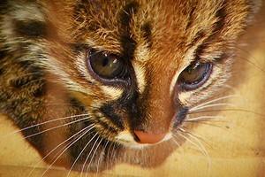 Gato-do-mato aparece no canavial (Márcio de Campos/TG)