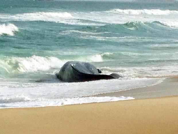 Baleia jubarte na Praia da Macumba (Foto: Jorge Bonacchi / Globo)