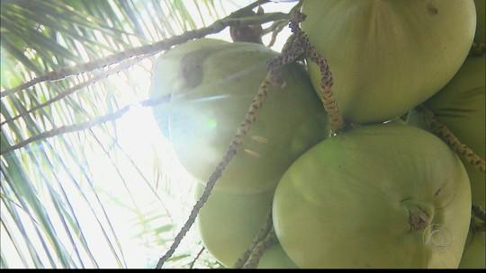 Agricultores recebem formação e aumentam produção de coco na PB