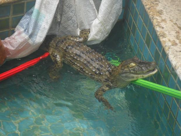 Jacaré foi retirado pela Guarda Municipal de piscina no Recreio (Foto: Divulgação / Guarda Municipal)