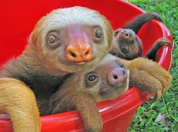 Três bichos-preguiça relaxam em um balde durante o banho (Foto: Reprodução)
