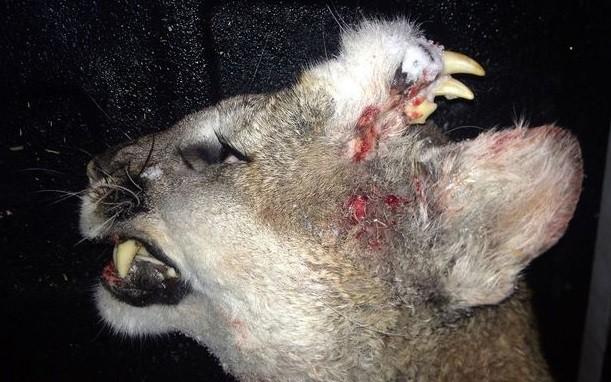 Leão-da-montanha caçado: 'Bizarro'