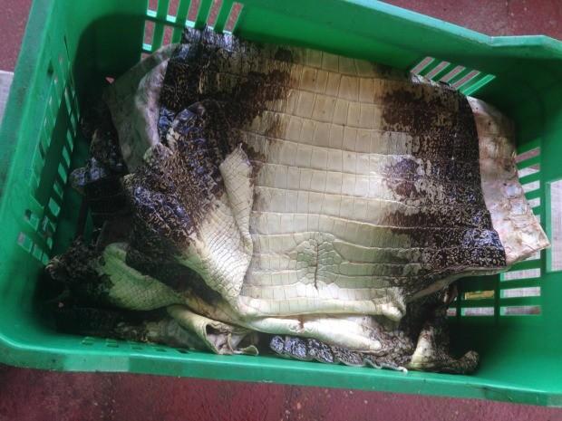 Operação do Ibama apreendeu peles de jacaré com origem de Poconé sem lacre em fábrica de São José do Rio Preto (SP) (Foto: Divulgação/Assessoria Ibama)