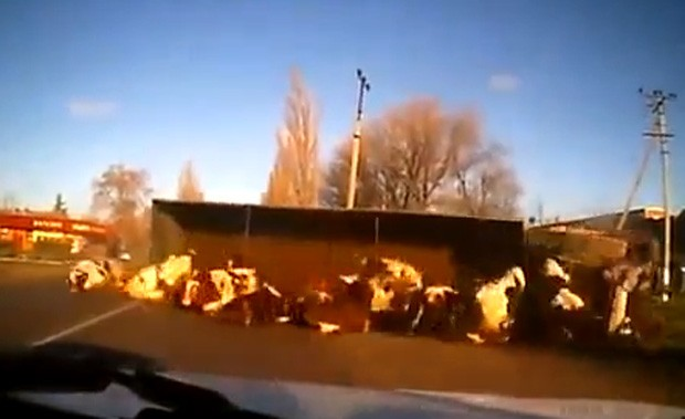 Depois que o caminhão tombou, animais foram jogados na pista (Foto: Reprodução)