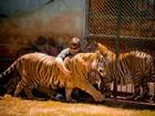 Justiça determina vasectomia de 12 tigres de mantenedouro em Maringá