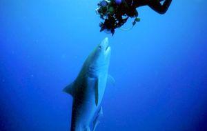 Mergulhadora fica frente a frente com tubarão-tigre: 'Uma cena que mudou minha vida'; veja vídeo