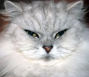Gato gordo (Foto: Allen Watkin/WikiCommons)