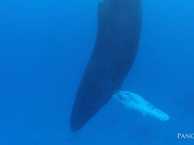 Baleia-jubarte foi filmada dormindo (Foto: Reprodução/YouTube/Panga MX)