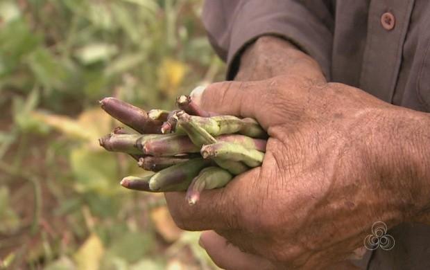 Produtores rurais fazem a colheita do feijão-caupi em Roraima (Foto: Bom Dia Amazônia)