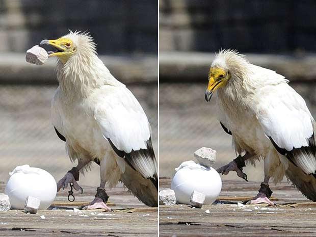 Em 2010, uma ave de rapina foi flagrada usando uma pedra para quebrar a casca de um ovo em um zoológico em Madri, na Espanha. (Foto: Dominique Faget/AFP)