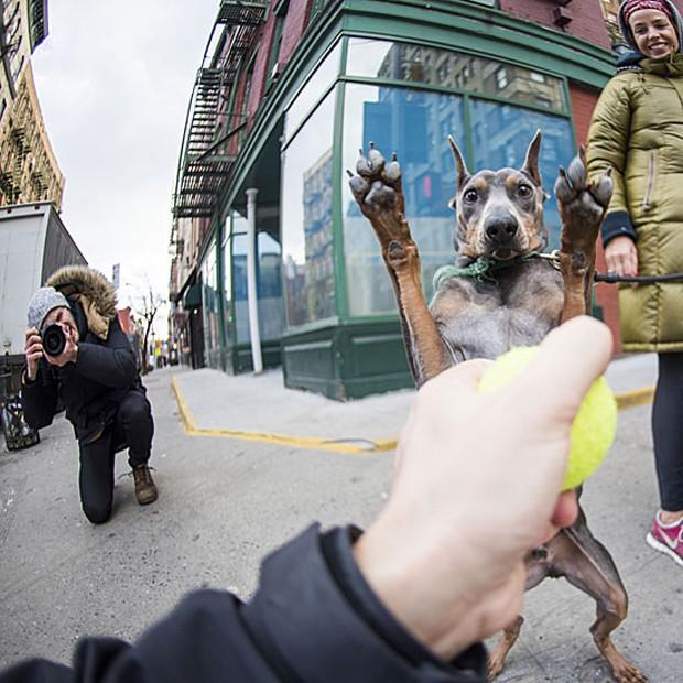"""Uma das ferramentas do fotógrafo é usar uma bolinha para atrair os cães - estratégia que, às vezes, funciona bem demais. Foi o caso com Kal-El, um pinscher alemão de quatro anos. No post do Instagram, o nome do cão é explicado: """"Kal-El é o verdadeiro nome Super-Homem"""" (Foto: The Dogist, LLC)"""