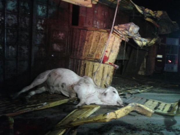 Animais mortos ficaram caídos na estrada após batida (Foto: Fabíola Sélis/TV Anhanguera)