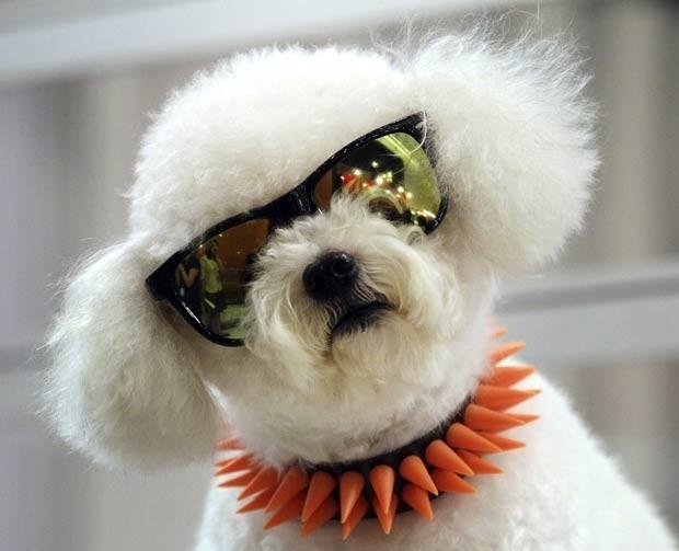 O poodle White foi fotografado em 2012 de de óculos escuros durante feira de animais em Bangcoc, na Tailândia (Foto: Sakchai Lalit/AP)