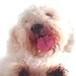 Proteção de Tela: Poodle Lambendo