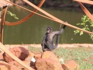 Macaco é observado pelos visitantes do Zoológico de Piracicaba (Foto: Daniela Ozório Bueno)