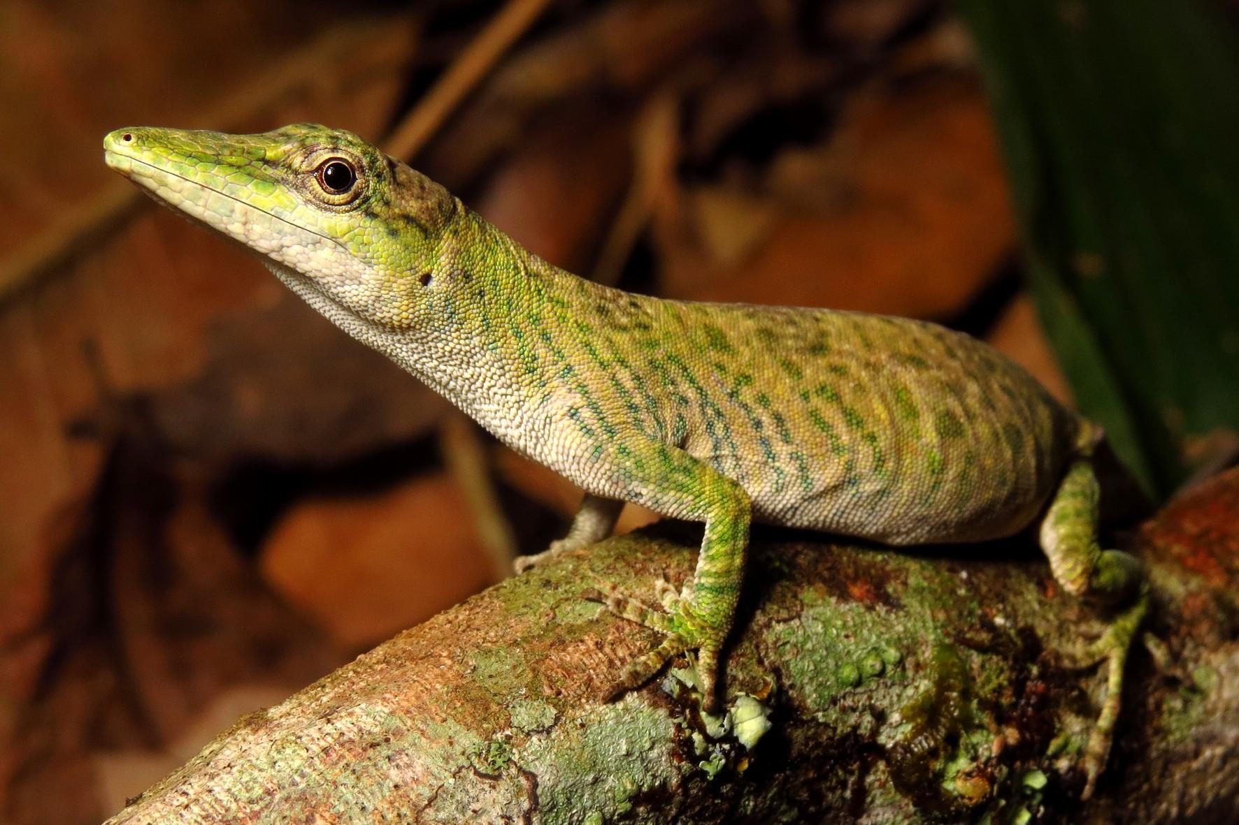 O lagarto papa-vento Anolis pseudotigrinus é caracterizado pela sua coloração e focinho alongado (Foto: Mauro Teixeira Jr./Divulgação)