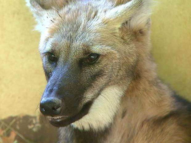 Aurora, fêmea de lobo-guará que faz tratamento após atropelamento em Sertãozinho, SP  (Foto: Reprodução/ EPTV)