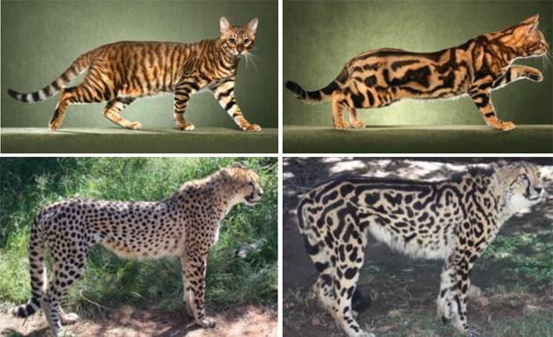 Imagens mostram variação de pelo sem mutação genética (à esquerda) e com mutação (à direita) em gatos e guepardos (Foto: Reprodução/'Science')