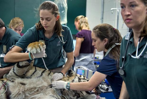 Cirurgia teve o objetivo de implantar pequeo tubo para drenar urina do rim à bexiga do tigre. (Foto: AP Photo/The Sacramento Bee, Renee C. Byer)