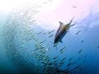 Brasileiro clica marlim azul atacando corrida das sardinhas na África do Sul