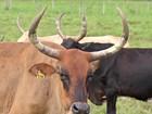 Cientistas e criadores trabalham para salvar o gado pantaneiro