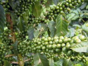 Saca do café tipo arábica, o mais produzido no Brasil, é vendida a R$ 235 (Foto: Reprodução EPTV)