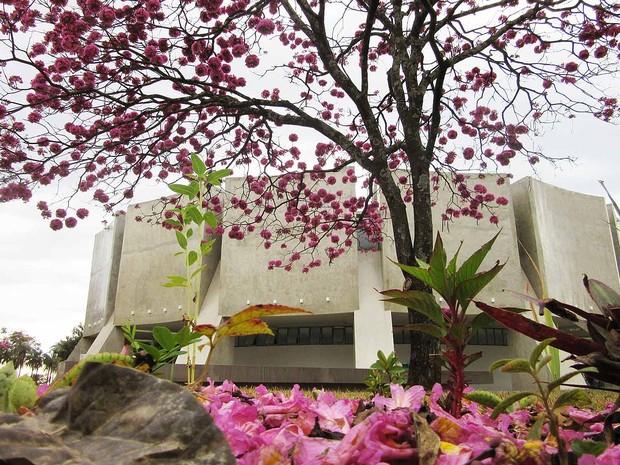 Flores caem e formam 'tapete' rosado em frente ao Planetário de Brasília, no Distrito Federal (Foto: Gabriela Berrogain/G1)