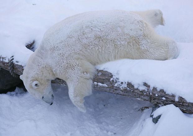 Um urso polar foi fotografado tirando uma soneca no aquário de Quebec, no Canadá (Foto: Mathieu Belanger/Reuters)
