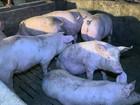 Aproximação do Natal movimenta engorda dos frangos e porcos em SC
