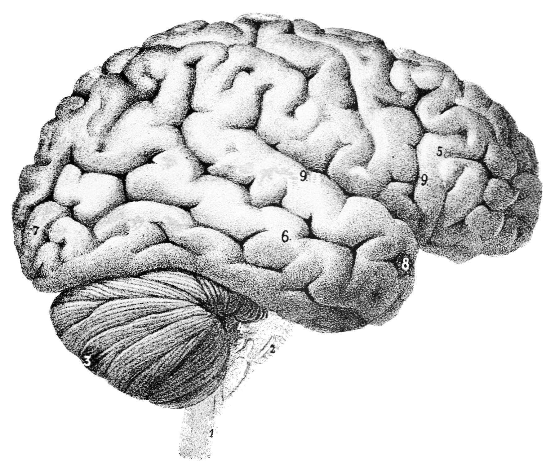 Estudo sugere que sangue jovem pode combater efeitos da idade no cérebro