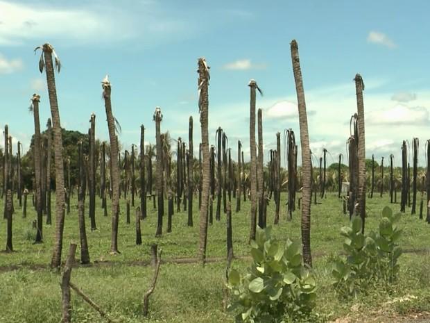 Produção de coco em Sousa, no Sertão paraibano, é comprometida por causa da seca (Foto: Reprodução/TV Paraíba)