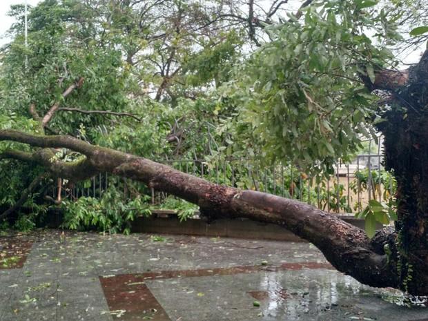 Árvore caiu sobre praça, na Avenida Sete, em Salvador (Foto: Ruan Melo/ G1 BA)