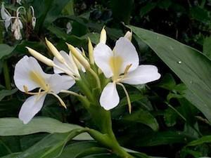 300x225Mistura com Rodaika Inspiração lírio do brejo plantas (Foto: Divulgação/Plantas que Curam)