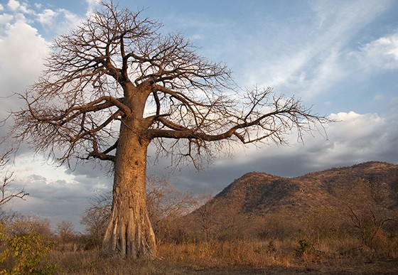 Um baobá ao entardecer no Parque Nacional Ruaha, na Tanzânia  (Foto: © Haroldo Castro/ÉPOCA)