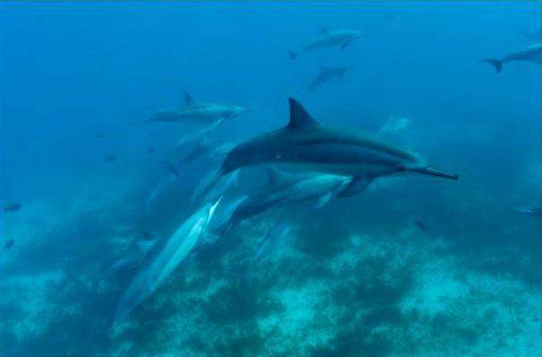 Grupo de golfinhos-rotadores: marca registrada de Noronha  (Foto: João Paulo Krajewski)