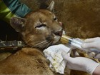 Puma resgatado ferido acorda após cirurgia e é alimentado em zoo do RS