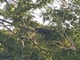 Jacaré é flagrado descansando em cima de árvore na Flórida
