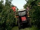 Clima adia colheita da maçã no RS e produtores esperam preço mais alto