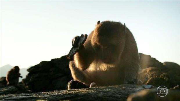 'Macacos do mar' usam pedras como ferramenta pra ajudar a abrir mariscos (Foto: BBC)