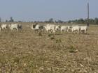 Fazenda inicia processo de integração lavoura e pecuária em Rio Crespo, RO