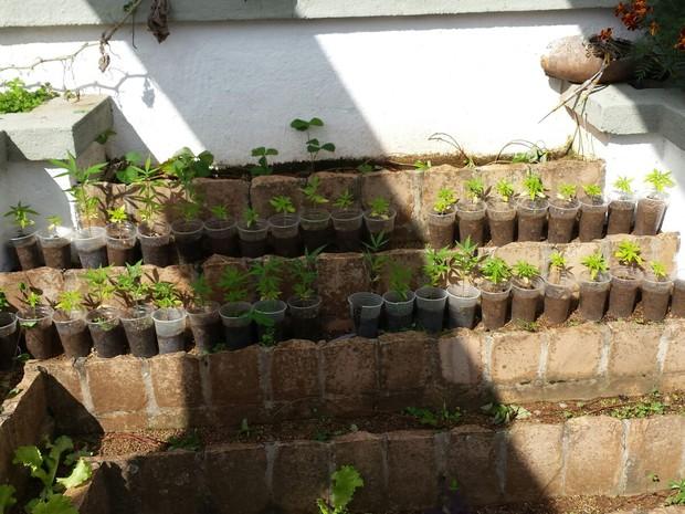 Maconha estava plantada em canteiros, copos, baldes, em chácara de Franca, SP (Foto: Divulgação/Dise)