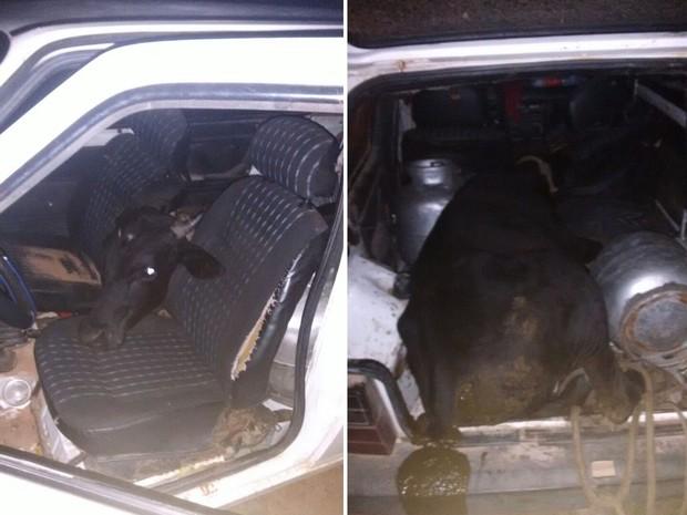 Banco traseiro do Fiat foi retirado para que o boi coubesse dentro do veículo (Foto: Renato Medeiros)