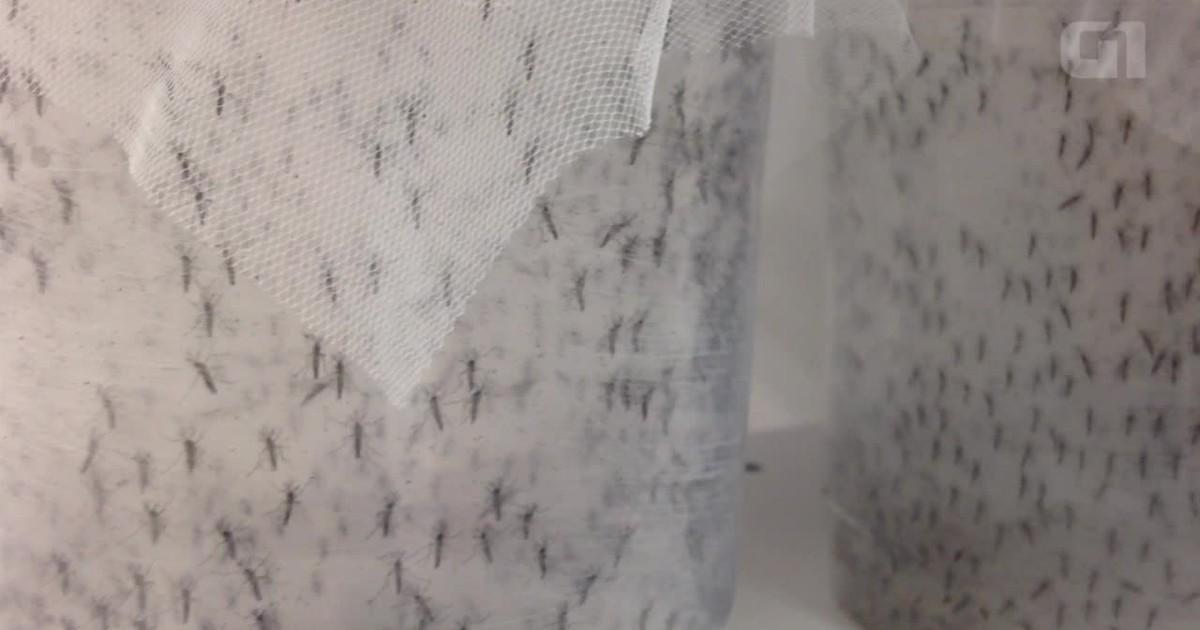 Brasil inaugura primeira fábrica de mosquitos da dengue transgênicos