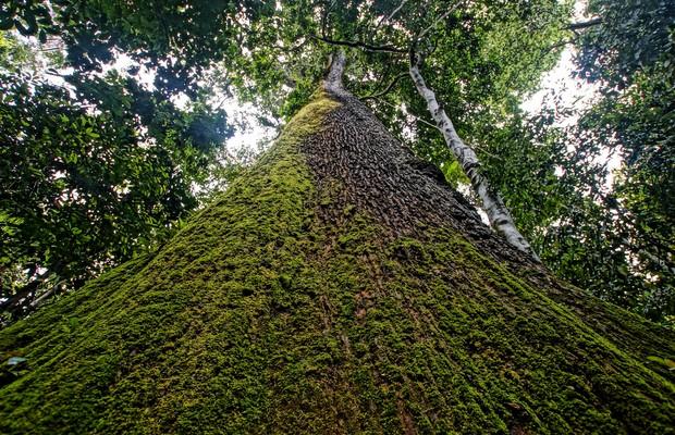 Castanheira na Amazônia (Foto: Christopher Borges/Wikimedia)