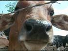 Volta da chuva e formação de pasto ajudam mercado do boi em PE
