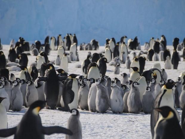 Pinguins-imperadores - (Foto: Ewan Curtis/Governo da Austrália)
